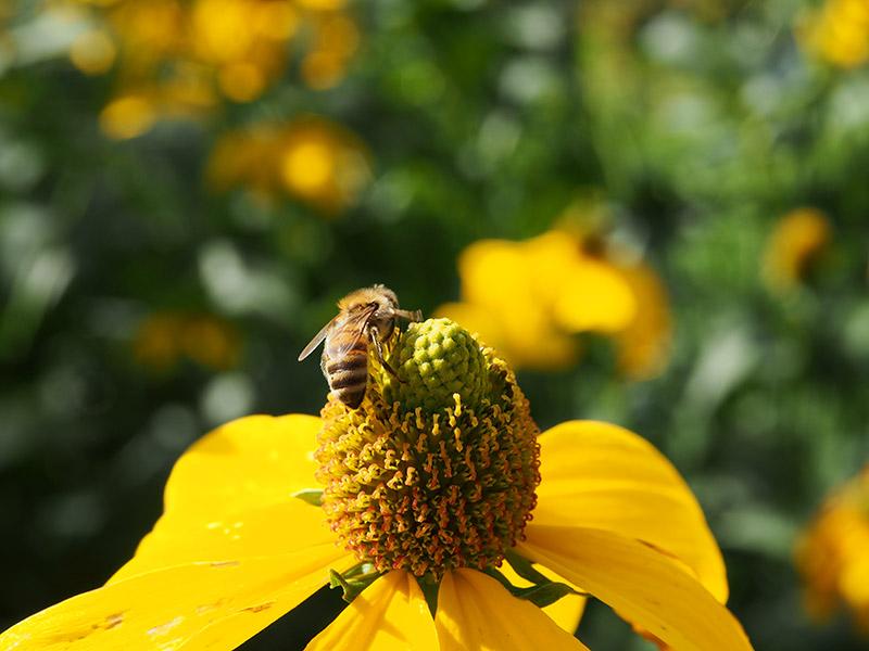 """Honingbijen hebben een zoet leven in Beetsterzwaag. Met ingang van het seizoen 2014 heeft een bijenvolk zijn intrek genomen in de oranjerie van de Tropische Kas. Het volk van honingbijen is gehuisvest in een observatiekast die in de oranjerie is geplaatst. Op deze manier kan iedere bezoeker kennis maken met het bijenvolk. De observatiekast heeft een rechtstreekse verbinding naar buiten. Door middel van een doorzichtige buis met een opening die uitkomt buiten de oranjerie, kunnen de honingbijen ongestoord af- en aanvliegen. De bijen vliegen dan ook niet rond in de oranjerie. De bijen zijn aanwezig gedurende het zomerseizoen. Eind augustus wordt het volk overgebracht naar een ander verblijf ter voorbereiding op de winter. Het plaatsen van de observatiekast met honingbijen bij de Tropische Kas is tot stand gekomen in samenwerking met de Bijenhoudersvereniging Beetsterzwaag. De leden van de bijenhoudersvereniging onderhouden en verzorgen de honingbijen gedurende hun verblijf bij de Tropische Kas.Gastvrouw Alice van Binsbergen: """"Als Tropische Kas werken we graag mee aan het in contact brengen van bezoekers met allerhande aspecten van de natuur. De bijdrage van de honingbijen aan de natuur en de landbouw is van enorme waarde. Omdat het steeds slechter gaat met de honingbijen (pesticiden, parasieten, virussen en bacterien) vinden wij het belangrijk hiervoor aandacht te vragen en onze bezoekers kennis te laten maken met de unieke wereld van de honingbijen."""" Fotografie: Friesland Holland News."""