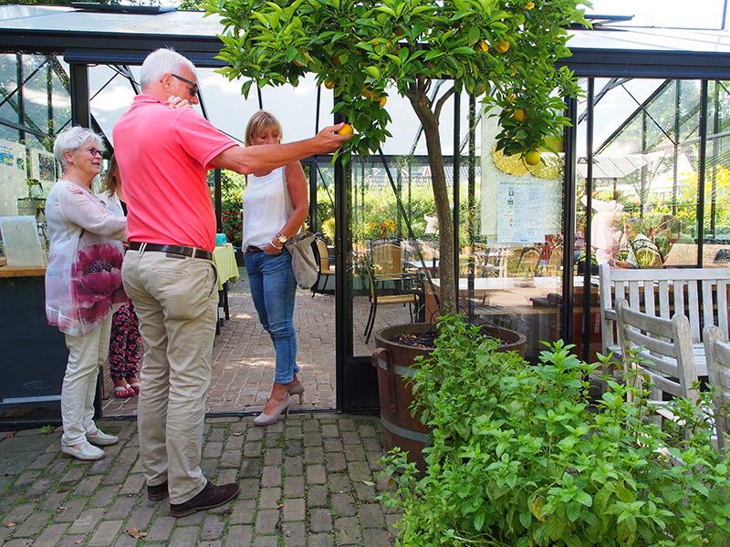 Op het terras voor deze kas staan twee sinaasappelbomen in een kuip, die in 1930 door een groep pachters is geschonken ter gelegenheid van het huwelijk van jonkheer De Jonge van Zwijnsbergen met freule Anna Adriana Clara Cornelia Grundtmann Lycklama à Nijeholt. Trouwfoto en aanbiedingsbrief hangen op het prikbord in de kas. Kenmerkend voor citrusbomen is dat ze tegelijkertijd bloesem en vruchten dragen. Fotografie: Friesland Holland News.