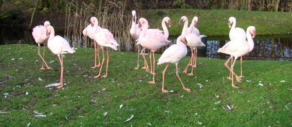 Flamingo's in de Leeuwarder dierentuin.