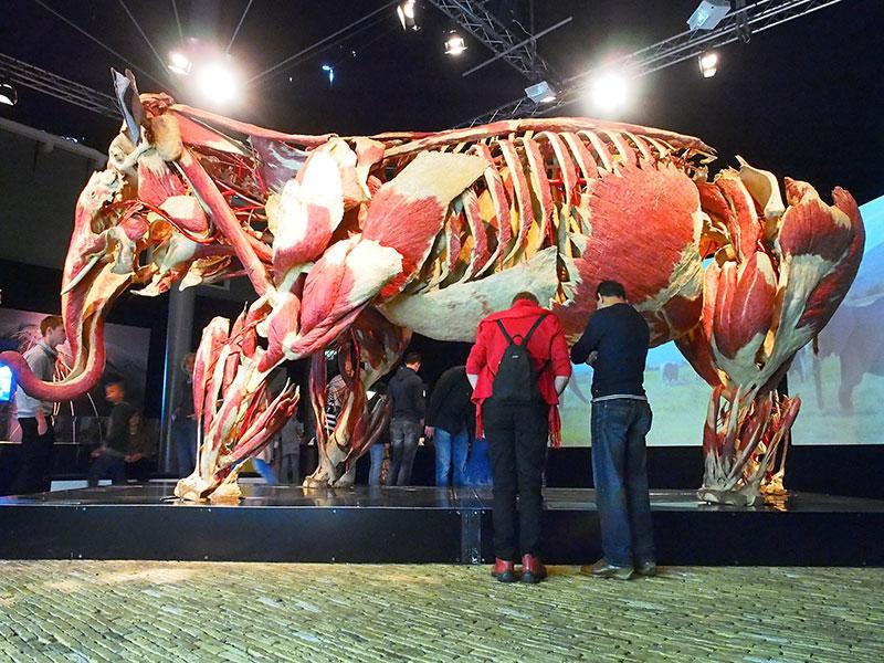 Het onbetwiste hoogtepunt van de tentoonstelling Animal Inside Out in Leeuwarden is de olifant Samba. Hij is met een breedte van 3,5 meter en een hoogte van 6 meter het grootste plastinaat ooit gemaakt. Het opzetten van Samba nam 2,5 jaar in beslag en kostte 64.000 werkuren.Al in 2000 plastineerde von Hagens een paard, in 2003 gevolgd door een kameel en een gorilla. Toch kwam hij pas bij olifant Samba op het idee om hier een tentoonstelling van te maken. Samba stierf aan een aandoening aan hart en bloedvaten in de dierentuin van Neunkirchen, Duitsland. Gewoonlijk worden overleden dieren op gepaste wijze gecremeerd, maar in dit geval schonk de dierentuin de olifant aan Gunther von Hagens' Instituut voor Plastinatie met als doel huidige en toekomstige generaties het lichaam in al zijn anatomische pracht te laten aanschouwen. Voor Von Hagens was het een grote eer om het dier te mogen conserveren. Plastineren is een zeer intensief proces. Het team werkte maar liefst 64.000 uur aan de olifant. Dertig man waren een jaar bezig om één poot te ontleden. Het eigenlijke plastinatieproces waarbij water vervangen wordt door siliconen kostte ook een jaar. Fotografie: Albert Hendriks, Friesland Holland Nieuwsdienst.