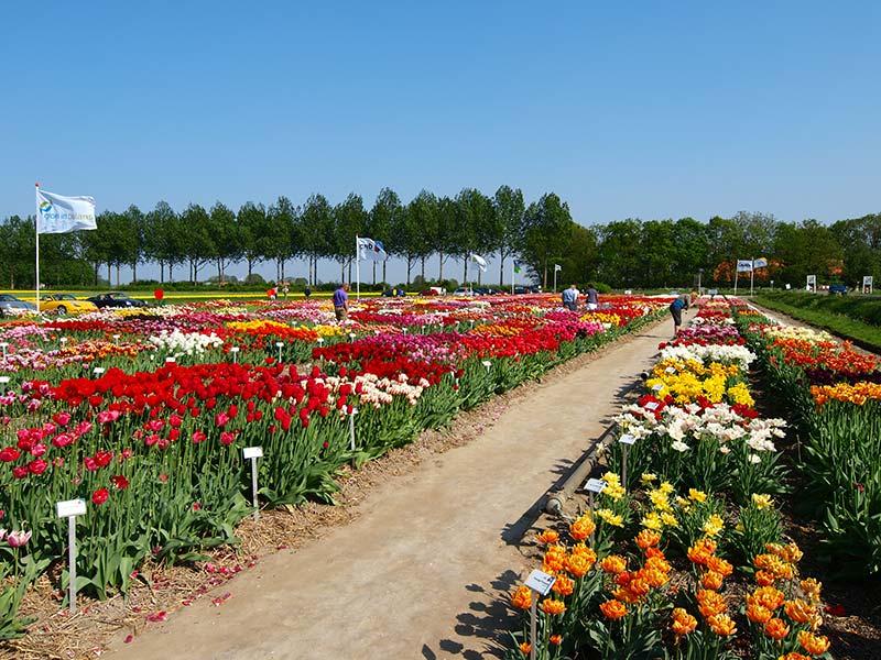 Tulpenroute (noordelijke helft Noordoostpolder) en tulpenshowtuin (Wrakkenpad 2, Creil, Noordoostpolder). Info: www.stepnop.nl/tulpenfestival en www.kleurrijkflevoland.nl/page4.php