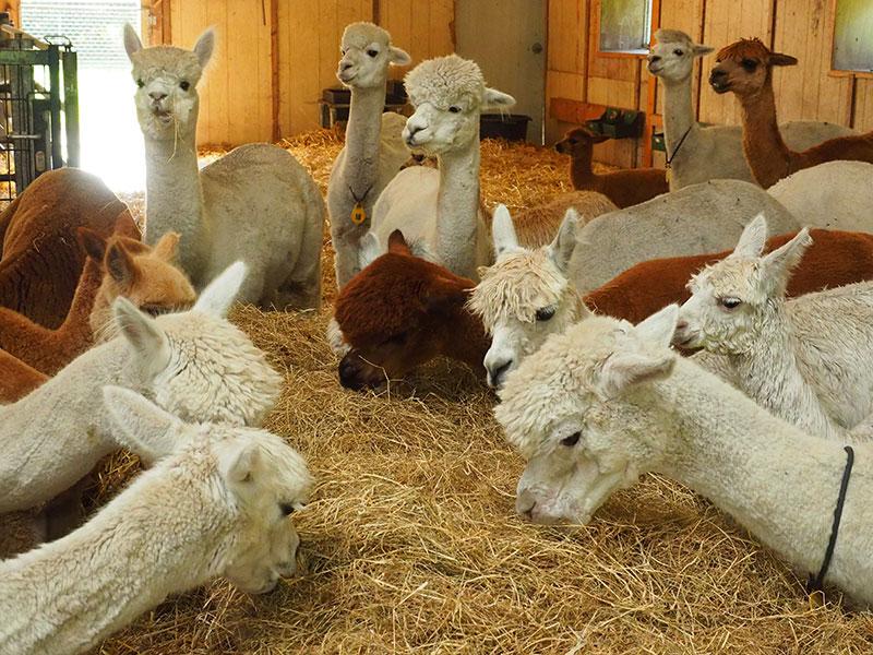 De Tweede Kamer: Alpaca's in de stal van Alpaca Flevoland aan het IJzerpad in Rutten.