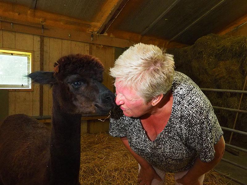 Sommige Alpaca's kun je knuffelen.